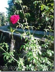 mawar merah,mawar putih,mawar,bunga,penyesalan,tangkai,indah,cantik,motivasi,cinta,kehidupan