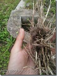 rumput,rerumputan,akar,tumbuhan